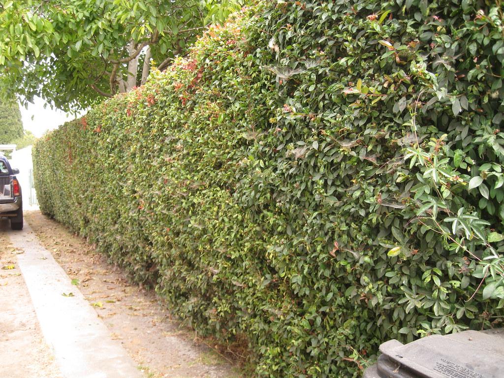 Eucalyptus Plant Care