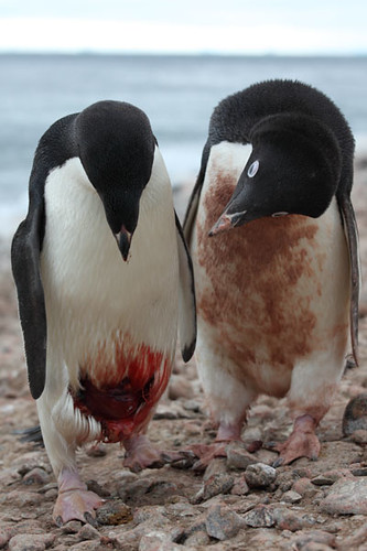 Injured Adelie Penguin Being Inspected By Conspecific Flickr