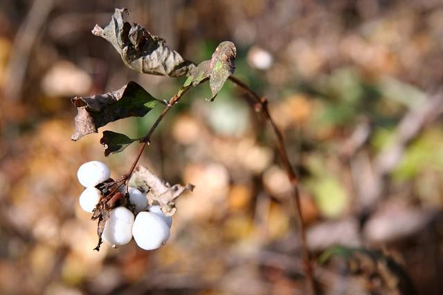 marshmallow bush | The Unfolding Head
