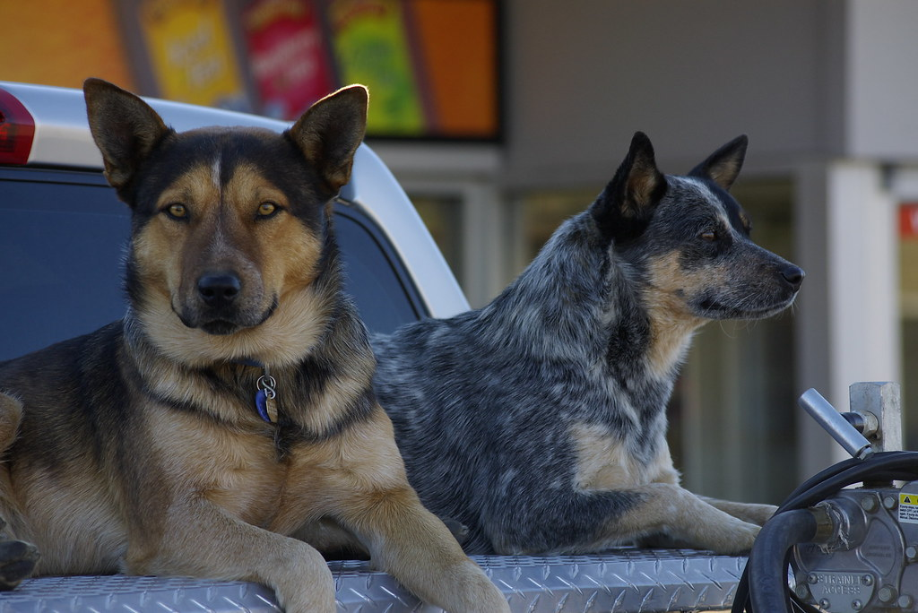 Catahoula and blue heeler dogs | The dog on the left is ...