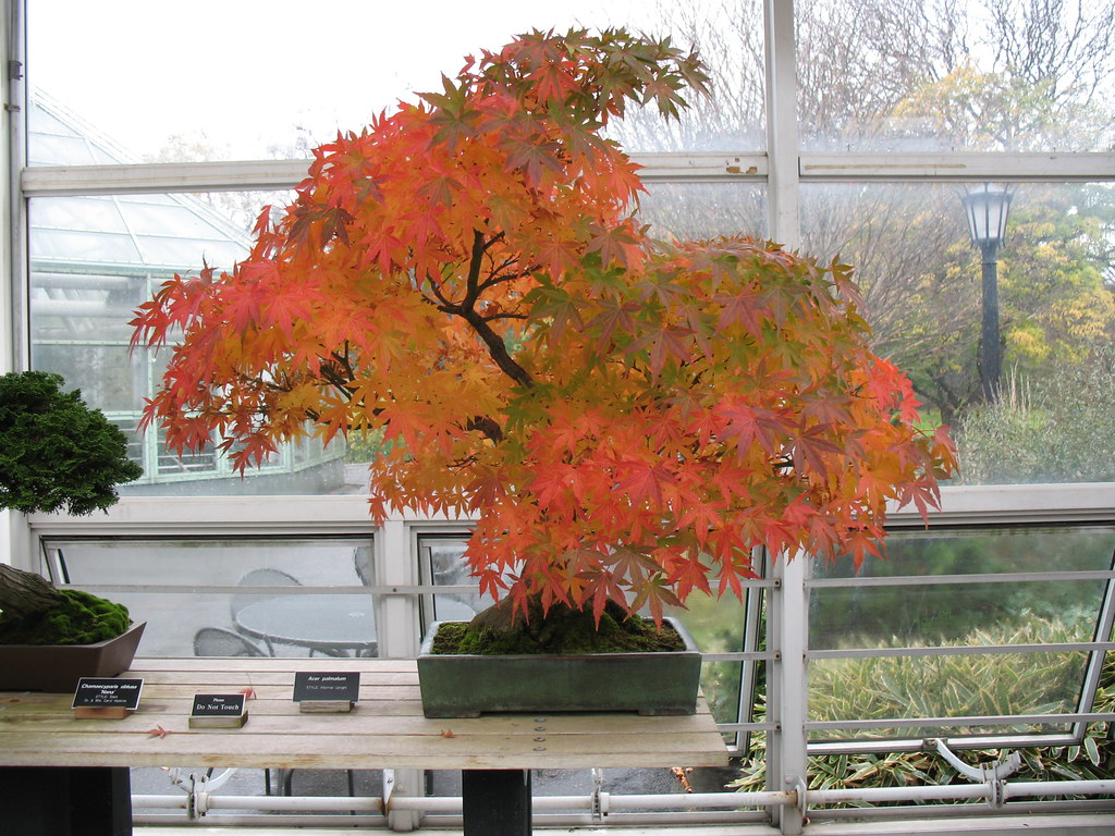 Japanese Maple Bonsai | The winds and rain haven\'t knocked t… | Flickr