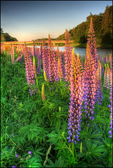 Lupins | by angus clyne