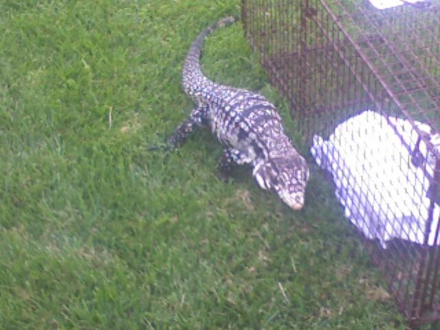 Lizard on the loose