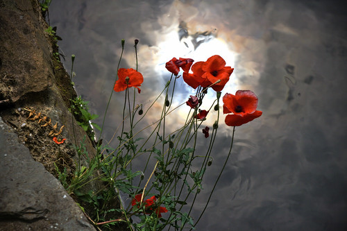 Last poppies on the riverside | by Bert Kaufmann