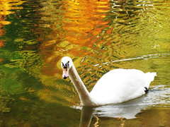 Swan (Cygnini) in Autumn Reflections - Adelberg, Herrenbach Artificial Lake, Germany | by Batikart... off !!!