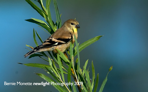 Goldfinch by Bernie Monette | by Bernie Monette
