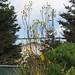 "Silphium laciniatum  ""Compass Flower"""