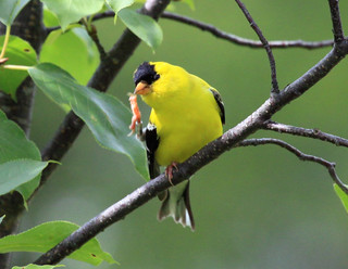 American Goldfinch | by Laura Erickson
