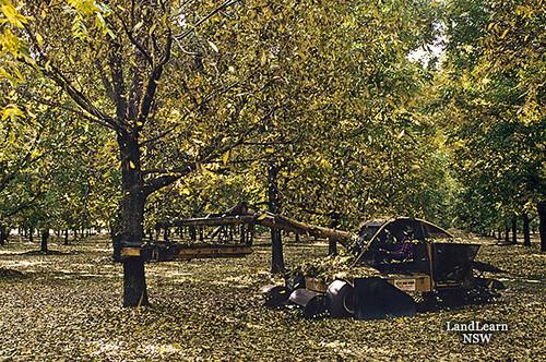 Pecan Harvesting  Shaking Tree  Moree Nsw