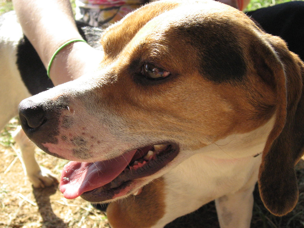 Can Dogs Carry Kennel Cough Without Symptoms