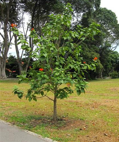 Cordia Sebestena Young Tree Boraginaceae Simei Park