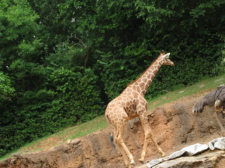 Giraffe | by brookeandandy