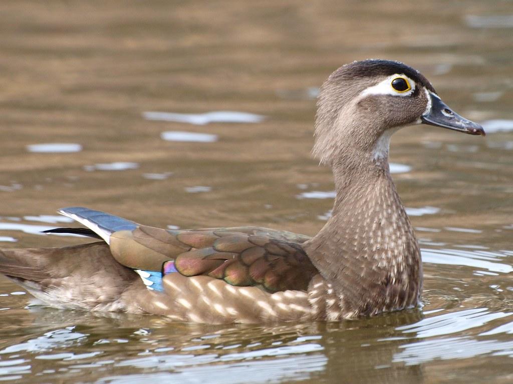 Female Wood Duck | Female Wood Duck (Aix sponsa). They're ...