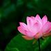 Lotus Summers