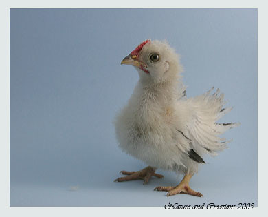 Whitehackle Roosters Baby Keyword Data - Related Whitehackle