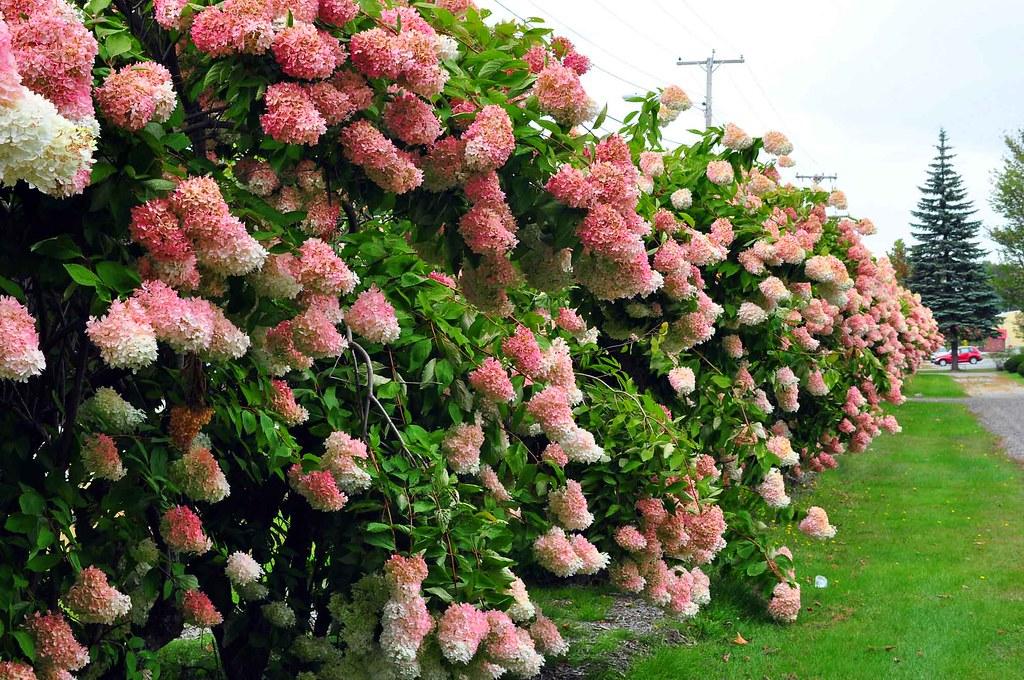 Hydrangea Hedge All Over Maine We Saw Beautiful