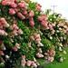 Hydrangea Hedge