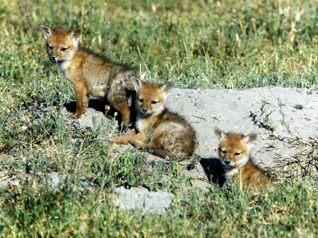 Canis Aureus Den Golden Jackal Pups At Den Ngorongoro