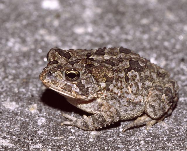 Georgia Southern Map >> Southern Toad, south Georgia, USA   Southern Toad Bufo ...