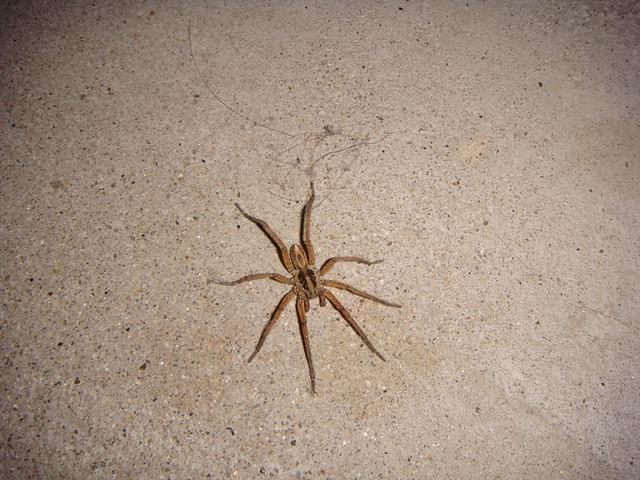 Big Brown Spider Detail Leslie Laurence Flickr