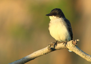 Eastern Kingbird watching the sunset | by Inland Bay Photography