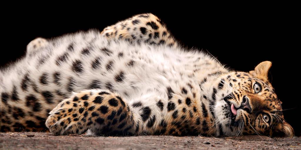 171 Rub My Belly 187 A Very Cute Amur Leopard Of The Walter