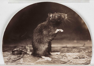 'Mr and Mrs Rattus: Old English Black Rat' | by National Science and Media Museum