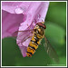 MacroMania -This hoverfly just flew in and posed...