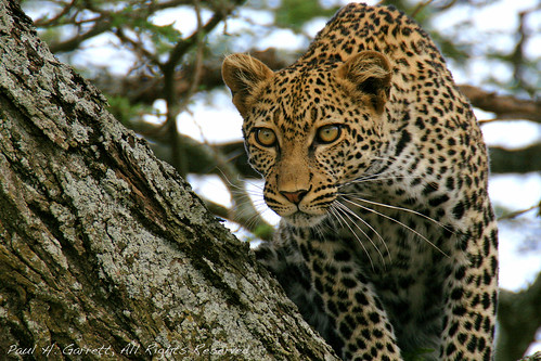 Crouching Leopard | by KidsLoveAnimals