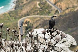 Vogel über dem Chapman's Peak Drive