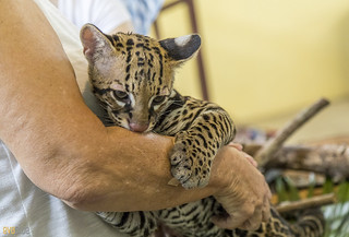 Ocelot Gamboa Wildlife Rescue pandemonio 2017 - 06 | by Eva Blue