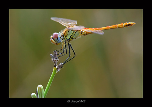 Dragonfly with another fund | by Ximo2