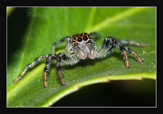Jumping Spider | by Pablin79