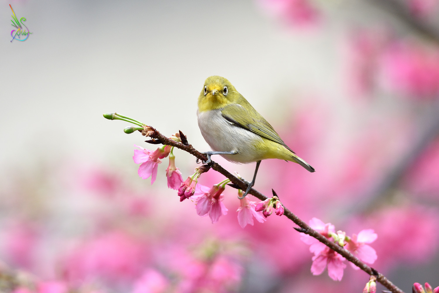 Sakura_White-eye_6038