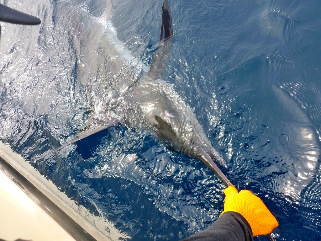 旗魚等大型魚類,可能無法在低氧環境存活。圖片來源:elaine moore(CC BY 2.0)