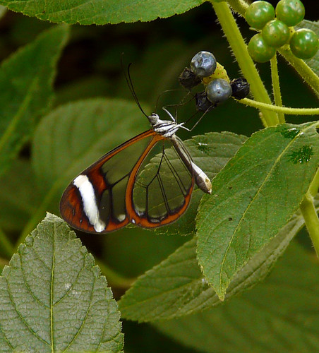 Glasswing | by JessopSmythe