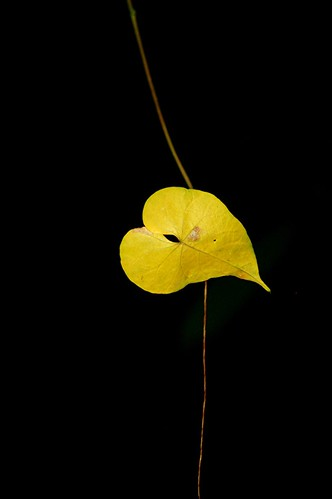 Golden leaf hanging in mid air | by jungle mama