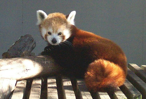 Red Panda | by Potter Park Zoo