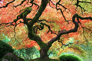 Japanese Maple | by Bourgeois Bogan