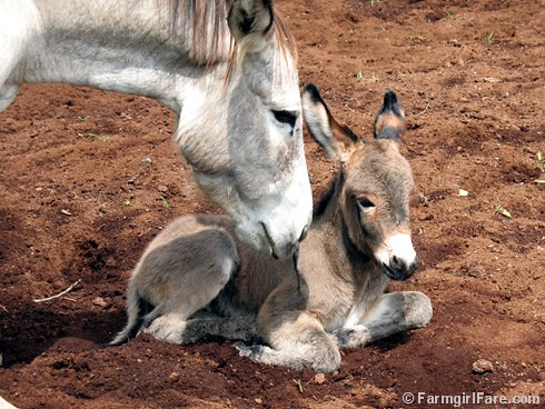 The Daily Donkey 115 | by Farmgirl Susan