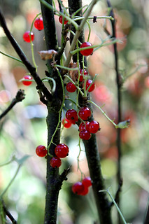 red currant plant | by David Lebovitz