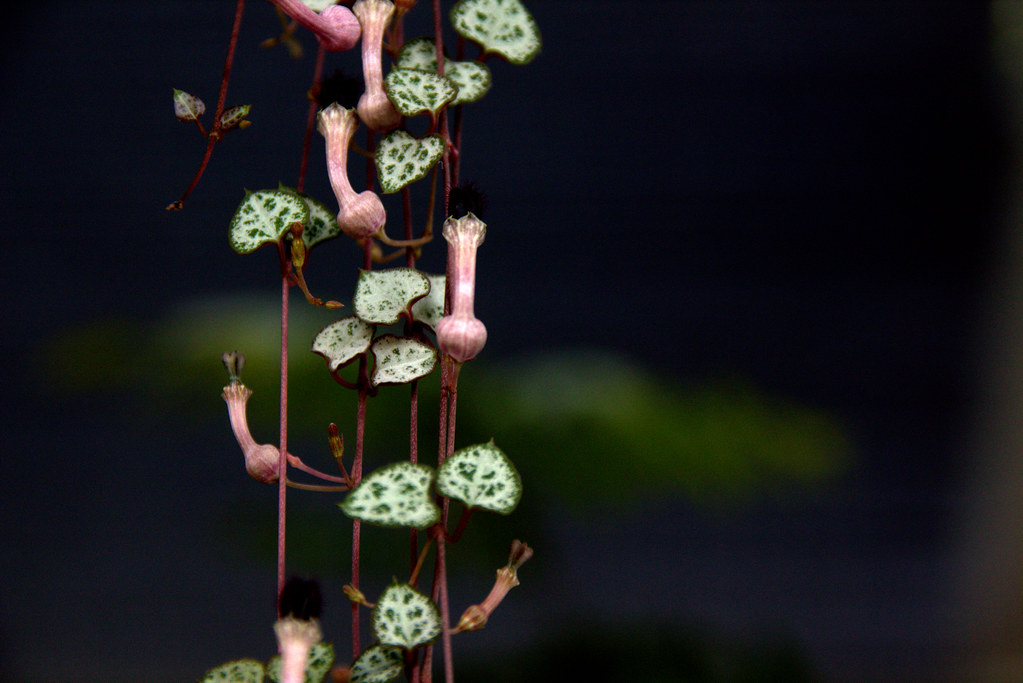 Para san Valentín (ceropegia woodii o string of hearts)