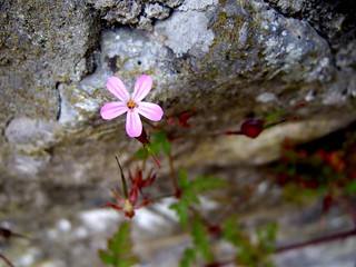 365 x42 Flower in the Stonewall, Wirksworth | by David Masters
