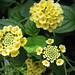 Latana 'Landmark Yellow'