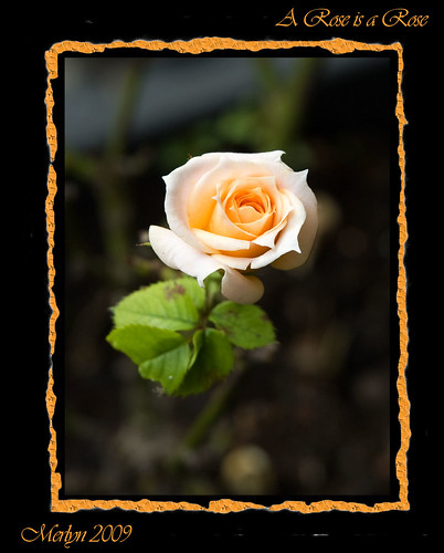 "A-Rose-is-a-Rose | by gainsheritage ""Commenting when I Can"""