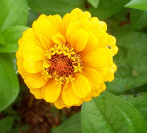 yellow zinniaYellow Zinnia