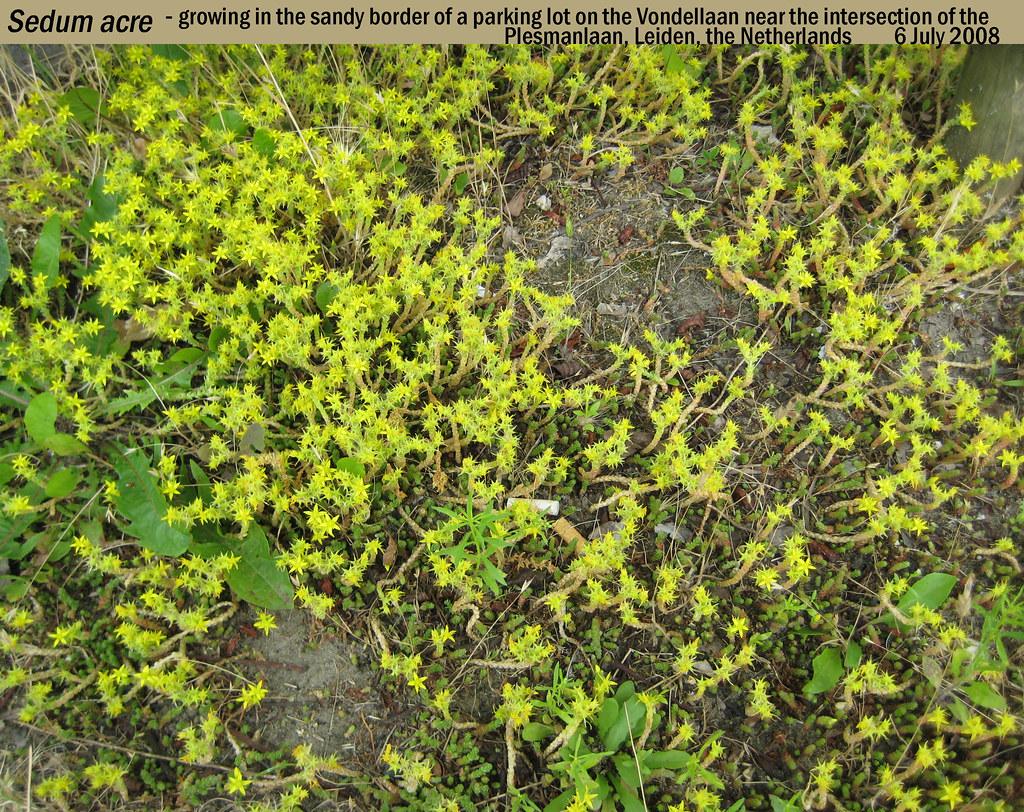 Sedum Acre Sedum Acre Growing in Sandy