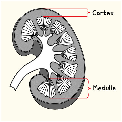 Kidney Cortex & Me...
