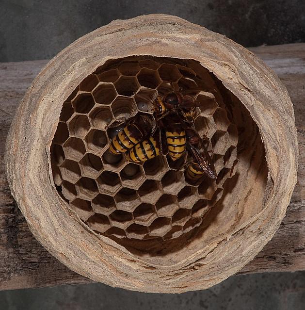 Wasp (European hornet)...