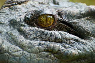 Gator Eye, Detail | by Johnath